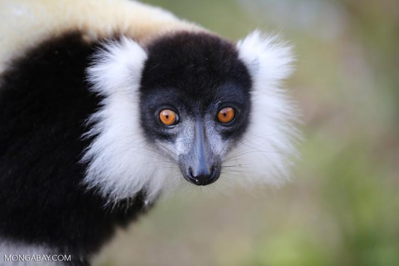 Black-and-white ruffed lemur (Varecia variegata) [madagascar_perinet_0224]