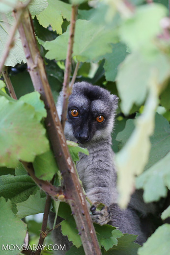 Common brown lemur (Eulemur fulvus) [madagascar_perinet_0228]