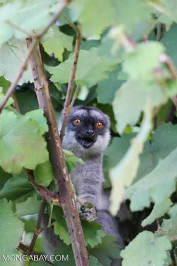 Common brown lemur (Eulemur fulvus) [madagascar_perinet_0230]
