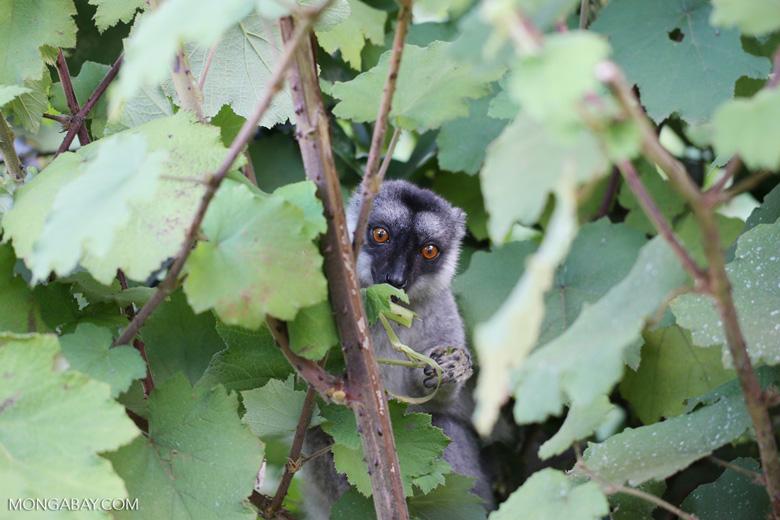 Common brown lemur (Eulemur fulvus) [madagascar_perinet_0234]