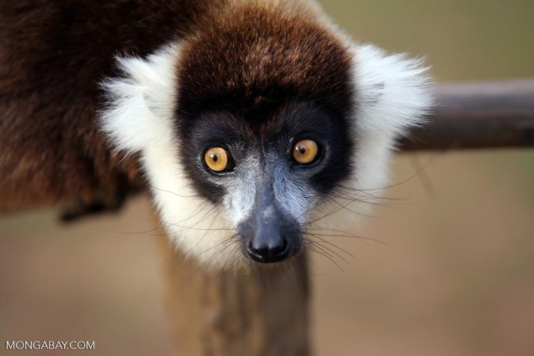 Black-and-white ruffed lemur (Varecia variegata) [madagascar_perinet_0237]