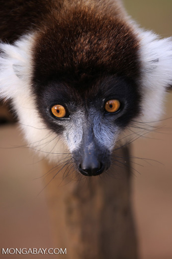Black-and-white ruffed lemur (Varecia variegata) [madagascar_perinet_0238]