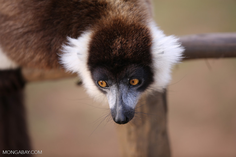 Black-and-white ruffed lemur (Varecia variegata) [madagascar_perinet_0242]