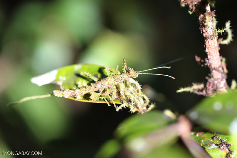 Mossy stick insect [madagascar_perinet_0310]
