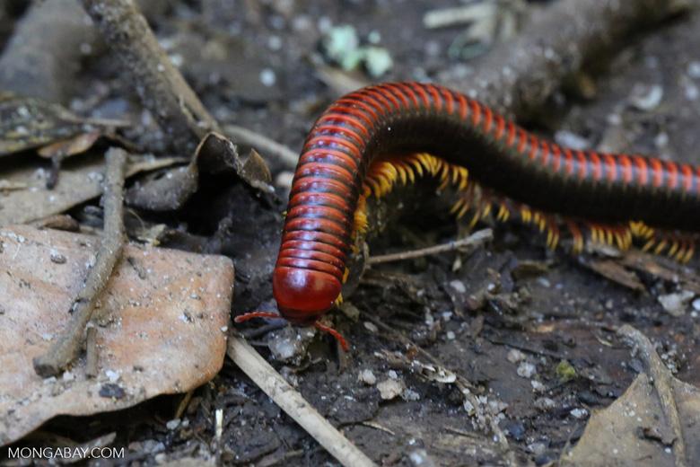 Madagascar Fire Millipede (Aphistogoniulus sp) [madagascar_perinet_0383]