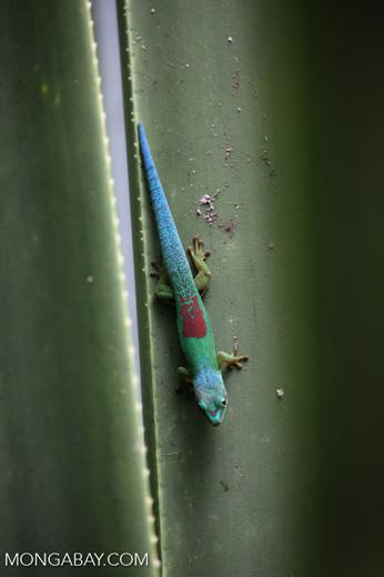 Lined Day Gecko (Phelsuma lineata chloroscelis) [madagascar_perinet_0472]