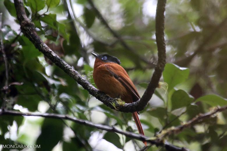Female Madagascar paradise flycatcher [madagascar_perinet_0495]