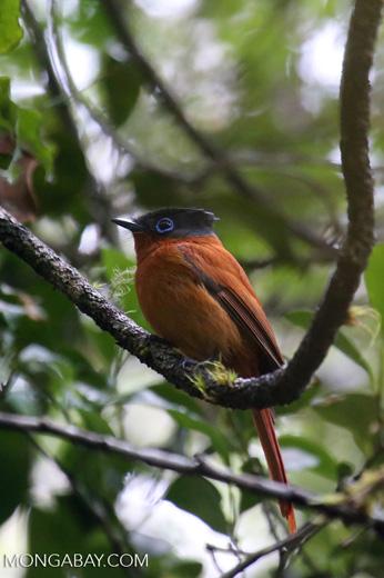 Female Madagascar paradise flycatcher [madagascar_perinet_0499]