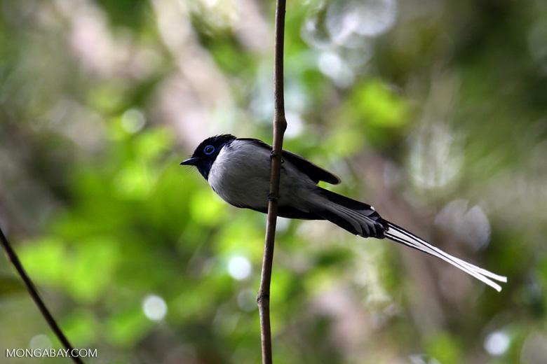 Male Madagascar paradise flycatcher [madagascar_perinet_0508]