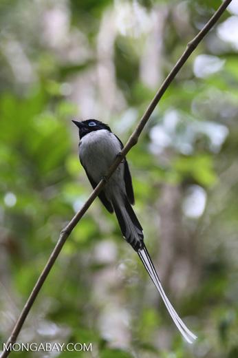 Male Madagascar paradise flycatcher [madagascar_perinet_0509]