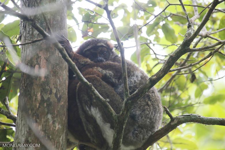 Eastern woolly lemur (Avahi laniger) [madagascar_perinet_0523]