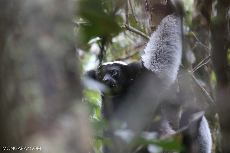 The Indri, the world's largest lemur
