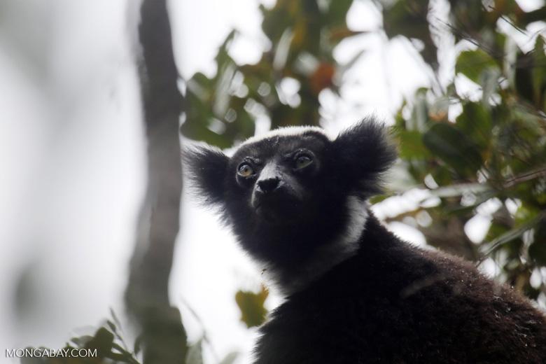 The Indri, the largest lemur [madagascar_perinet_0568]