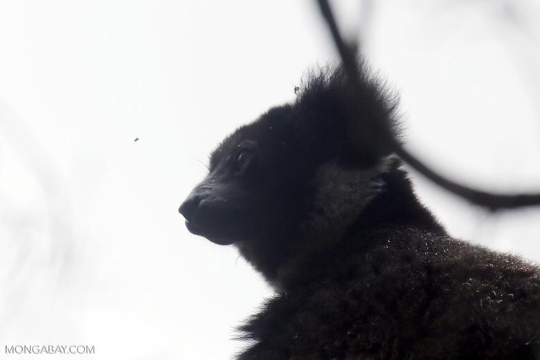 Indri lemur [madagascar_perinet_0575]