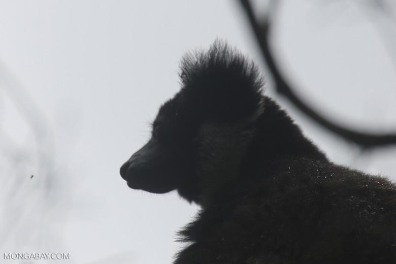 Indri lemur [madagascar_perinet_0576]