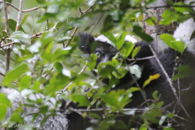 Indri lemur [madagascar_perinet_0578]