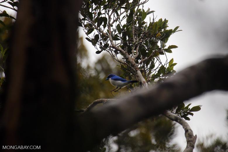 Blue vanga (Cyanolanius madagascarinus) [madagascar_perinet_0583]