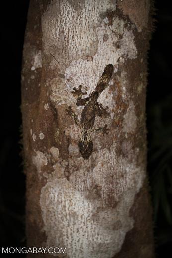 Mossy leaf-tailed gecko (Uroplatus sikorae) [madagascar_perinet_0644]