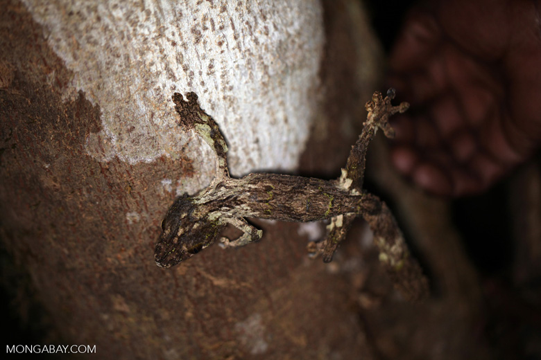 Mossy leaf-tailed gecko (Uroplatus sikorae) [madagascar_perinet_0646]