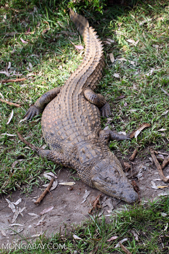 Madagascar crocodile [madagascar_perinet_0651]