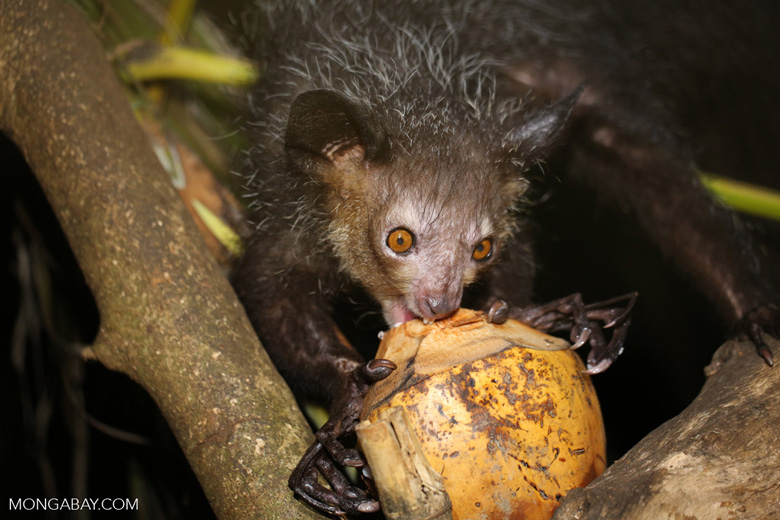 Aye-aye lemur in Tamatave, Madagascar. Photo by Rhett A. Butler