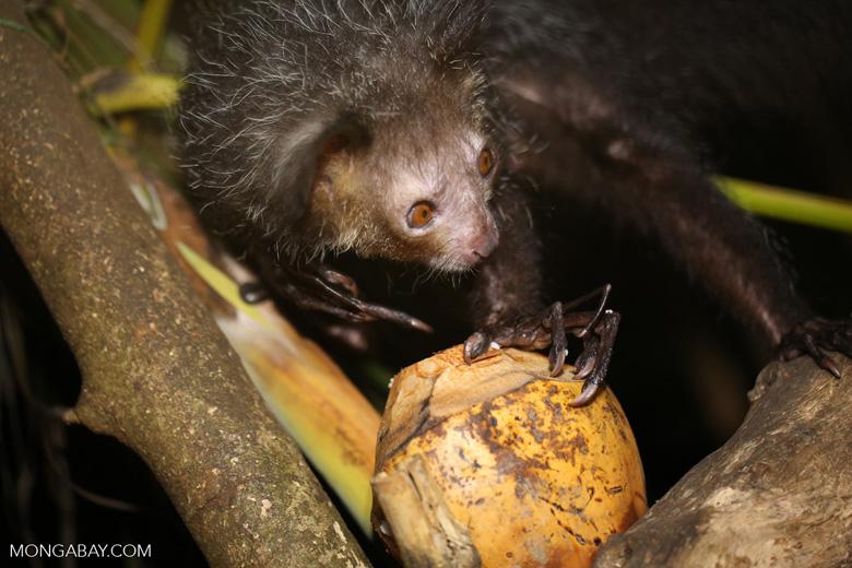 Aye-aye feeding on a coconut [madagascar_tamatave_0024]