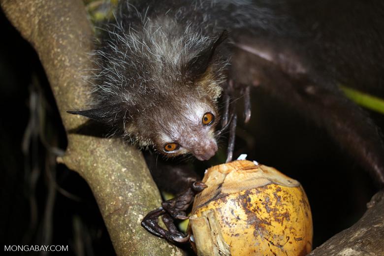 Aye-aye feeding on a coconut [madagascar_tamatave_0028]