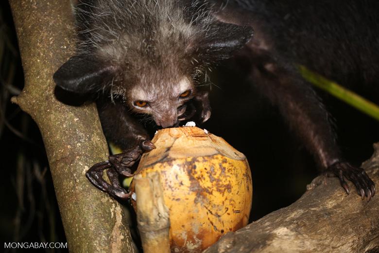 Aye-aye feeding on a coconut [madagascar_tamatave_0029]