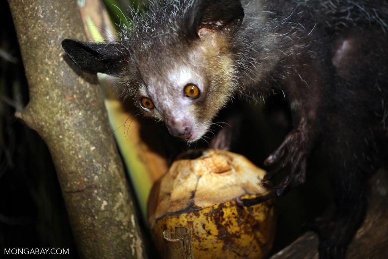 Aye-aye feeding on a coconut [madagascar_tamatave_0034]