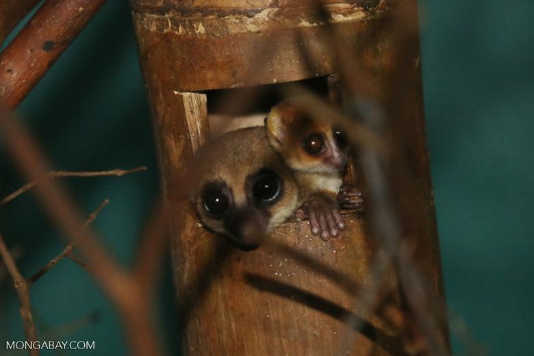 Dwarf lemur (Cheirogaleus sp) sharing a hole with a mouth lemur [madagascar_tamatave_0055]