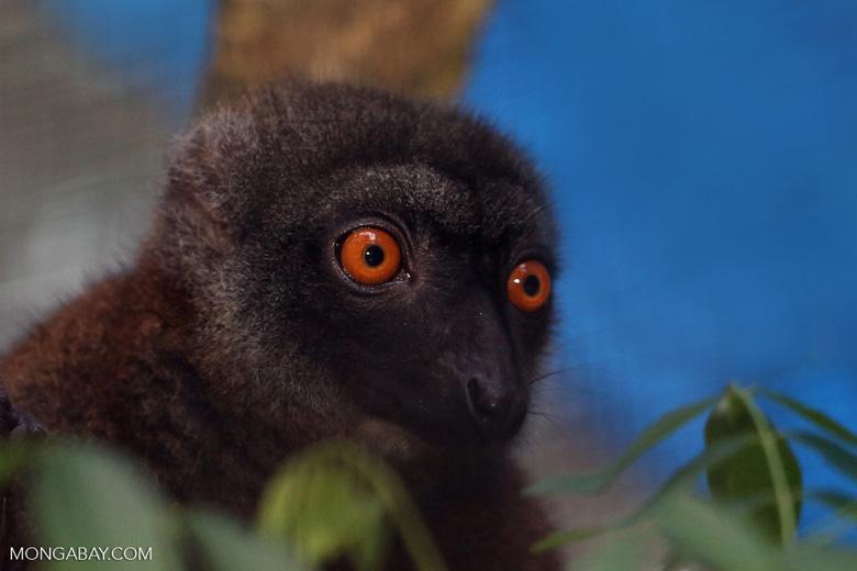 Female white-fronted lemur (Eulemur albifrons) [madagascar_tamatave_0058]
