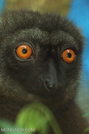 Female white-headed lemur (Eulemur albifrons)