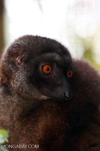Female white-headed brown lemur