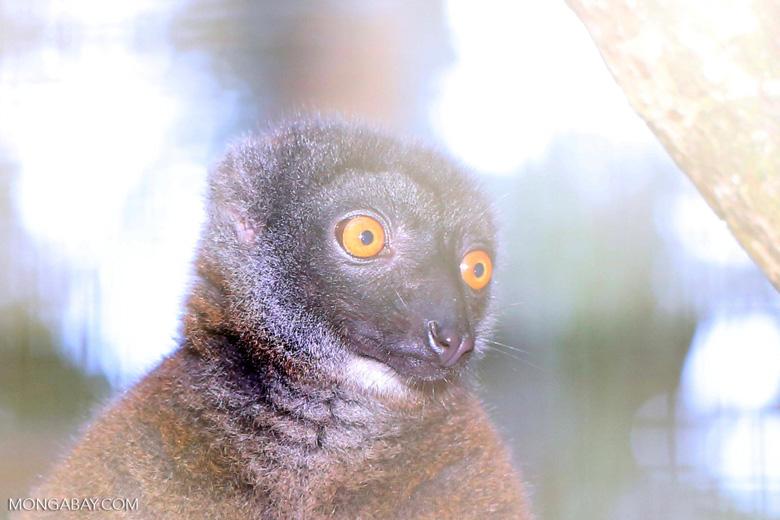 Female white-fronted lemur