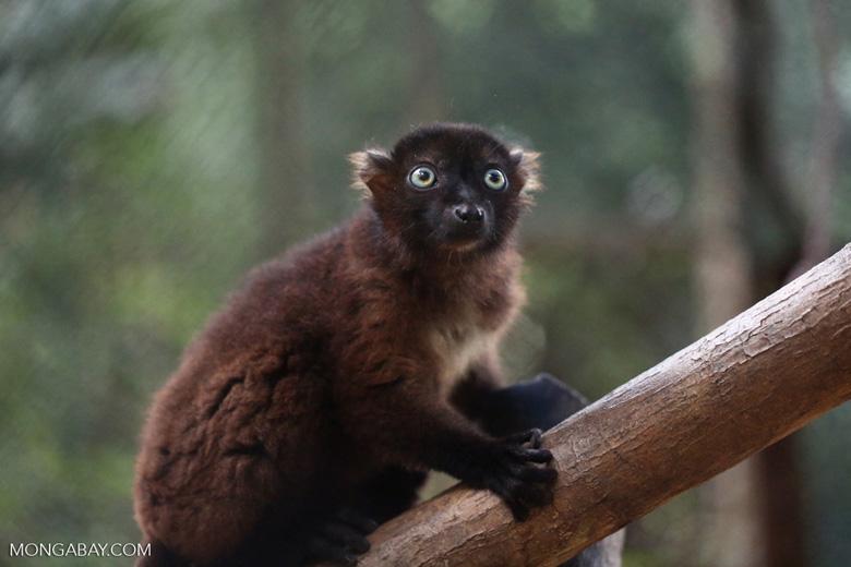 Female Sclater's lemur (Eulemur flavifrons)