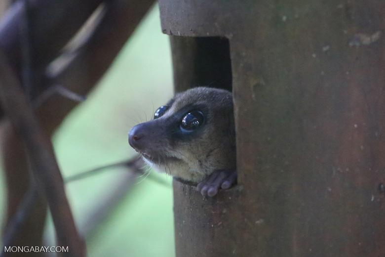 Dwarf lemur (Cheirogaleus sp) [madagascar_tamatave_0070]