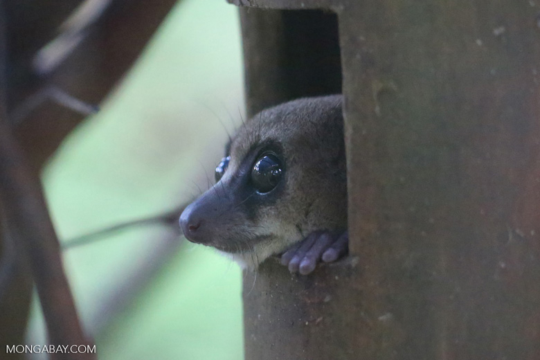 Dwarf lemur (Cheirogaleus sp) [madagascar_tamatave_0076]
