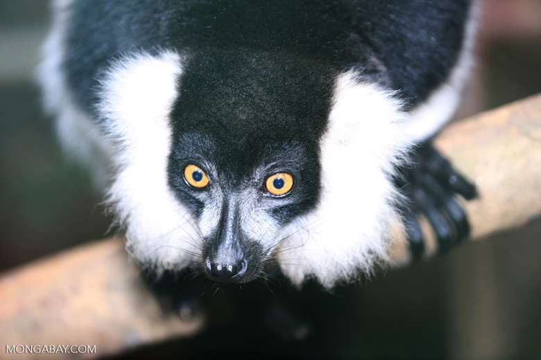Black-and-white ruffed lemur (Varecia variegata) [madagascar_tamatave_0078]
