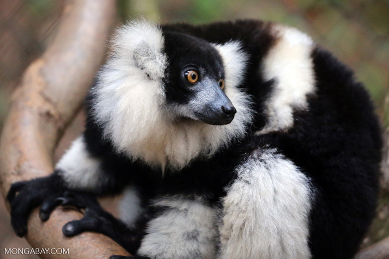 Black-and-white ruffed lemur [madagascar_tamatave_0080]