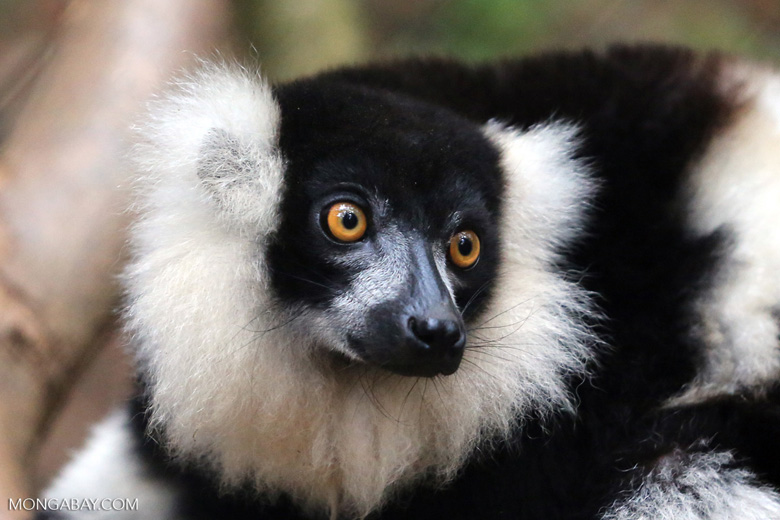 Black-and-white ruffed lemur (Varecia variegata) [madagascar_tamatave_0083]