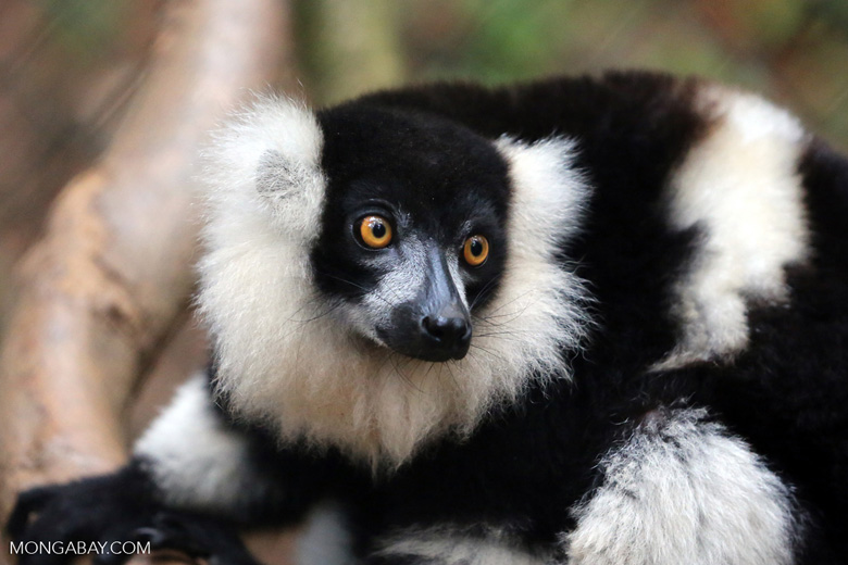 Black-and-white Varecia lemur [madagascar_tamatave_0084]
