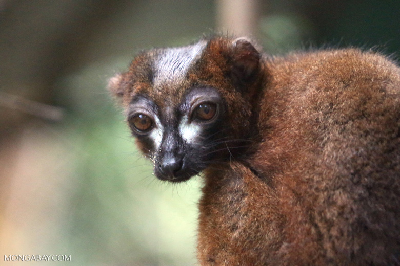 Male Red-bellied Lemur (Eulemur rubriventer) [madagascar_tamatave_0087]