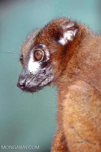 Male Red-bellied Lemur (Eulemur rubriventer) [madagascar_tamatave_0090]