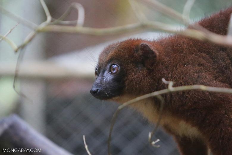 Female Red-bellied Lemur (Eulemur rubriventer) [madagascar_tamatave_0099]