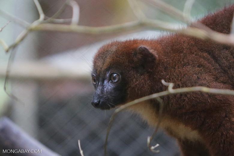 Female Red-bellied Lemur (Eulemur rubriventer) [madagascar_tamatave_0100]