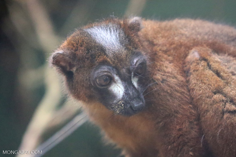 Male Red-bellied Lemur (Eulemur rubriventer) [madagascar_tamatave_0102]