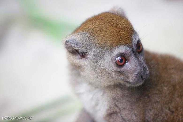 Gray bamboo lemur (Hapalemur griseus) [madagascar_tamatave_0113]