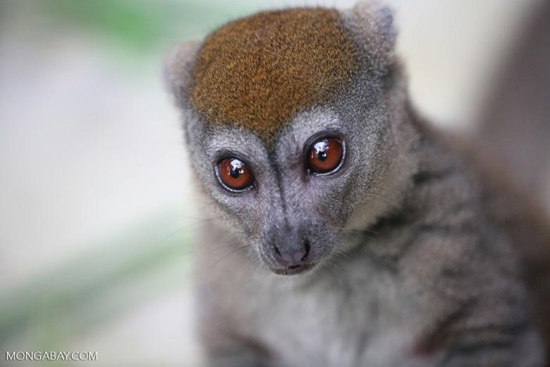 Lesser bamboo lemur (Hapalemur griseus)