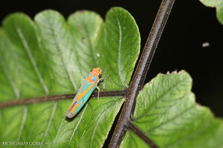 Orange and blue planthopper [mcar_0006]