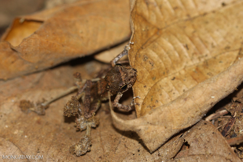 Leaf frog [mcar_0009]